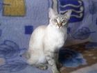Фото в   Кошка меконгский бобтейл ищет кота , этой в Аксае 0