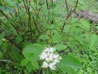 Фото в Домашние животные Растения Пригоден для посадки в изгородь, кустики в Артеме 250