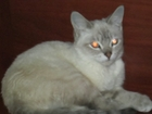 Скачать бесплатно фотографию Вязка Молодой котик ищет,породистую кошку шотландской породы для вязки 36613737 в Барнауле