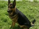 Скачать бесплатно foto Вязка собак Предлагаю кобеля для вязки, немецкая овчарка 38879357 в Барнауле