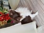 Увидеть фотографию Вязка собак Вязка чихуахуа ,Марсель ищет невесту ! 40814788 в Барнауле