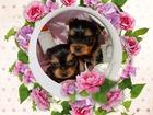 Фотография в   Красивые высокопородные щенки йоркширского в Белоярском 25000