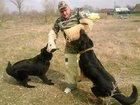 Смотреть фото  дрессировка собак 33812195 в Белореченске