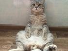 Фото в Кошки и котята Вязка кот 2 года развязан есть потомство к тарочке в Белово 0