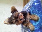 Фотография в Собаки и щенки Продажа собак, щенков Продаю щенка Йоркширского терьера. Девочка в Благовещенске 0