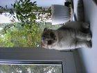 Изображение в Кошки и котята Вязка Молодая британская вислоухая кошечка красивой в Богородицке 0
