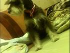 Фото в Собаки и щенки Продажа собак, щенков Ищем друга девочке цверга. Вязка первая хотелось в Братске 0