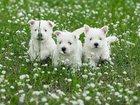 Изображение в Собаки и щенки Продажа собак, щенков Шикарные детки Вест Хайленд Уайт терьера в Брянске 17000