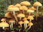 Скачать foto  Выращивание опят в домашних условиях 33603864 в Брянске
