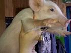 Фото в Домашние животные Другие животные продаю поросят. брянская область Жуковский в Брянске 0