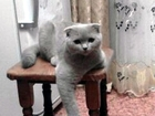 Уникальное фотографию Вязка кошек Шотландский вислоухий кот для вязки 60736235 в Брянске