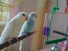 Уникальное foto  Попугай - продам двух волнистых попугайчиков 66582674 в Челябинске