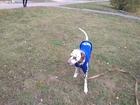 Просмотреть фото Вязка собак Далматин Крек (Пегас жемчужной россыпи, г, Челябинск) ищет невесту, 69208886 в Челябинске