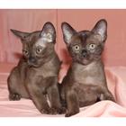 Европейская бурма - шикарные котята