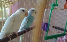 Попугай - продам двух волнистых попугайчиков