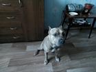 Уникальное фото  Ищем для связки собаку для американского терьера, 56765537 в Череповце