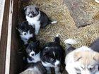 Фото в Собаки и щенки Продажа собак, щенков Продам щенков русско европейской лайки от в Цивильске 4000