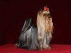 Фотография в Собаки и щенки Продажа собак, щенков Юный Чемпион России, Чемпион России приглашает в Дмитрове 5000