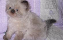 Голубоглазые персидские котята