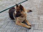 Фото в Собаки и щенки Вязка собак 2 годика кобелек немецкой овчарки ищет д в Долгопрудном 0