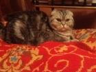 Увидеть foto  Ищу британского вислоухого кота для вязки 38513221 в Долгопрудном