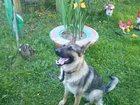 Фотография в Собаки и щенки Вязка собак Предлагается на вязку молодой кобель немецкой в Егорьевске 0