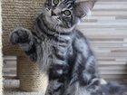 Фото в Кошки и котята Продажа кошек и котят Питомник Wide River (г. Екатеринбург) предлагает в Екатеринбурге 25000