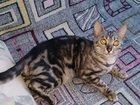 Новое фотографию Вязка Бенгальская кошечка ищет котика для вязки 32628548 в Екатеринбурге