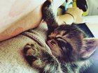 Изображение в Кошки и котята Продажа кошек и котят Котятам 1 месяц и 2 недели, два мальчика. в Екатеринбурге 0