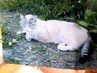 Фотография в Потерянные и Найденные Потерянные 20 апреля был потерян сиамский кот с голубыми в Екатеринбурге 0