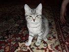 Фотография в Потерянные и Найденные Потерянные ушла из дома 12 августа, серого окраса, кошке в Екатеринбурге 0