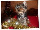 Фотография в Собаки и щенки Продажа собак, щенков Вот и праздник на носу , а на елках огоньки! в Екатеринбурге 35000