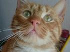 Фотография в   Ищет дом с печкой крупный кот Рыжик    Настоящий в Екатеринбурге 0