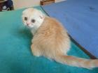 Фото в Кошки и котята Продажа кошек и котят Ласковое солнышко кремовая кошечка скотиш в Екатеринбурге 4000