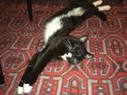 Изображение в Кошки и котята Вязка Приглашаем на вязку кошечку, коту 2 года в Екатеринбурге 0