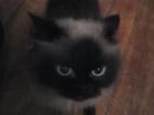 Изображение в   Отдам даром найдёныша- сиамскую кошечку! в Екатеринбурге 0
