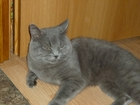 Фото в   голубой британский клубный кот приглашает в Екатеринбурге 0