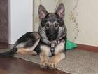 Фотография в Собаки и щенки Продажа собак, щенков Малышка Брут. 5 месяцев. Стерильна, привита, в Екатеринбурге 0