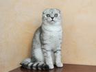 Фотография в Кошки и котята Продажа кошек и котят Настоящий шотландский мачо) Невозможно ласковый в Екатеринбурге 0