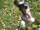 Фотография в Собаки и щенки Продажа собак, щенков Продаются щенки Китайской Хохлатой Собаки в Екатеринбурге 5000