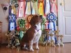 Новое фотографию Вязка собак Кобель для вязки, Бигль 38256253 в Екатеринбурге