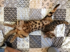 Фотография в Кошки и котята Вязка Котику 1. 5 года  Развязан  С документами в Екатеринбурге 5000