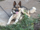 Увидеть foto Отдам даром - приму в дар Буду верен доброму, любящему собак хозяину 38310690 в Екатеринбурге