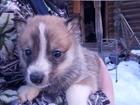 Фотография в Собаки и щенки Продажа собак, щенков От рабочих, опытных, зверовых родителей (Сука-универсал в Кургане 5000