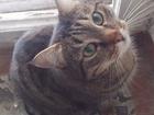 Фото в Потерянные и Найденные Потерянные Найден кот упитанный, полосатенький, камышовый в Екатеринбурге 0