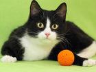 Увидеть изображение Отдам даром - приму в дар Симона, талантливая веселая кошка 9-10 мес, 38985908 в Екатеринбурге