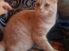 Уникальное изображение Другие животные Вязка с шотландским котом персикового окраса 39987279 в Екатеринбурге