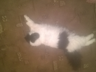 Увидеть изображение  Сибирка ищет котика , нам 1 год 57904241 в Екатеринбурге