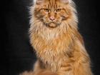Уникальное фото Вязка кошек Кот Мейн Кун приглашает на вязку 58314063 в Екатеринбурге