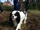 Скачать бесплатно фотографию Вязка собак Кавалер Кинг Чарльз Спаниель 68089061 в Екатеринбурге